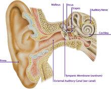 The_ear